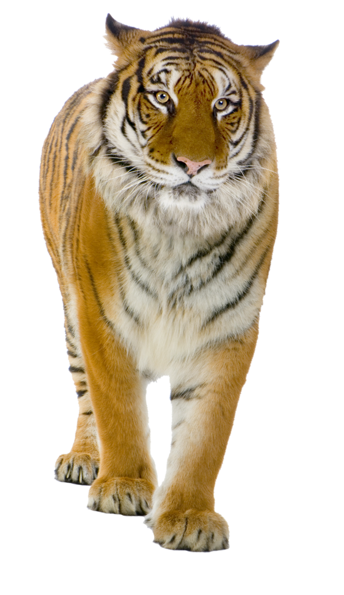 Tiger PNG Picture image #39183