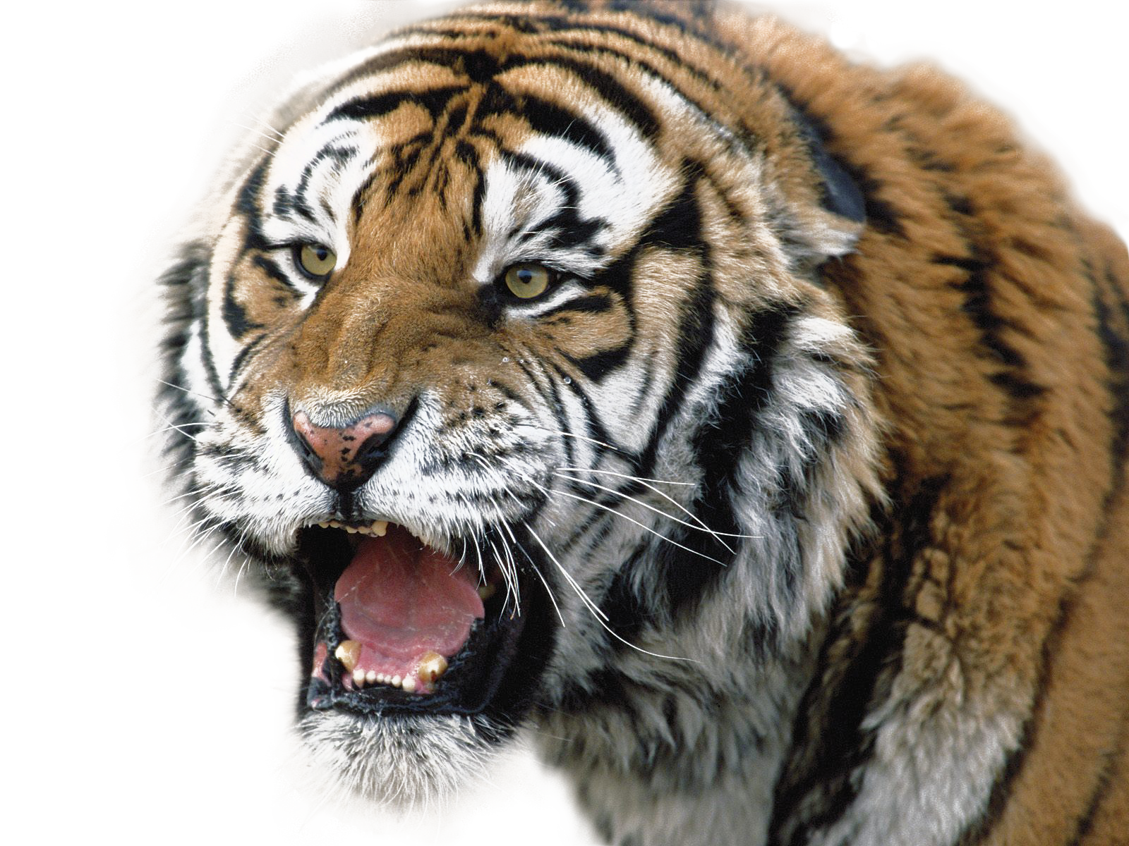 Tiger Transparent PNG Pictures - Free Icons and PNG ...