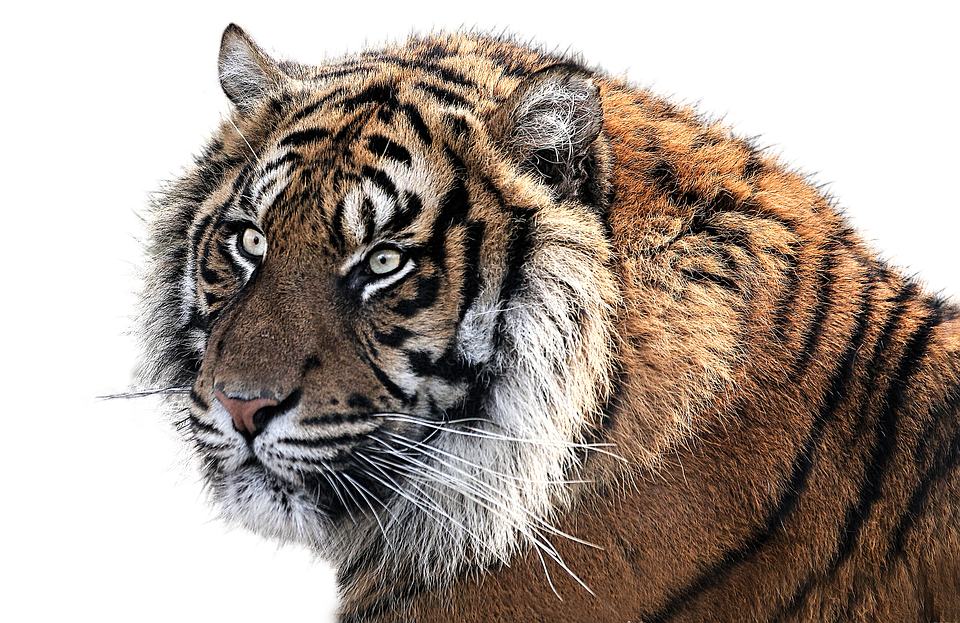 Clipart Collection Tiger Png image #39190