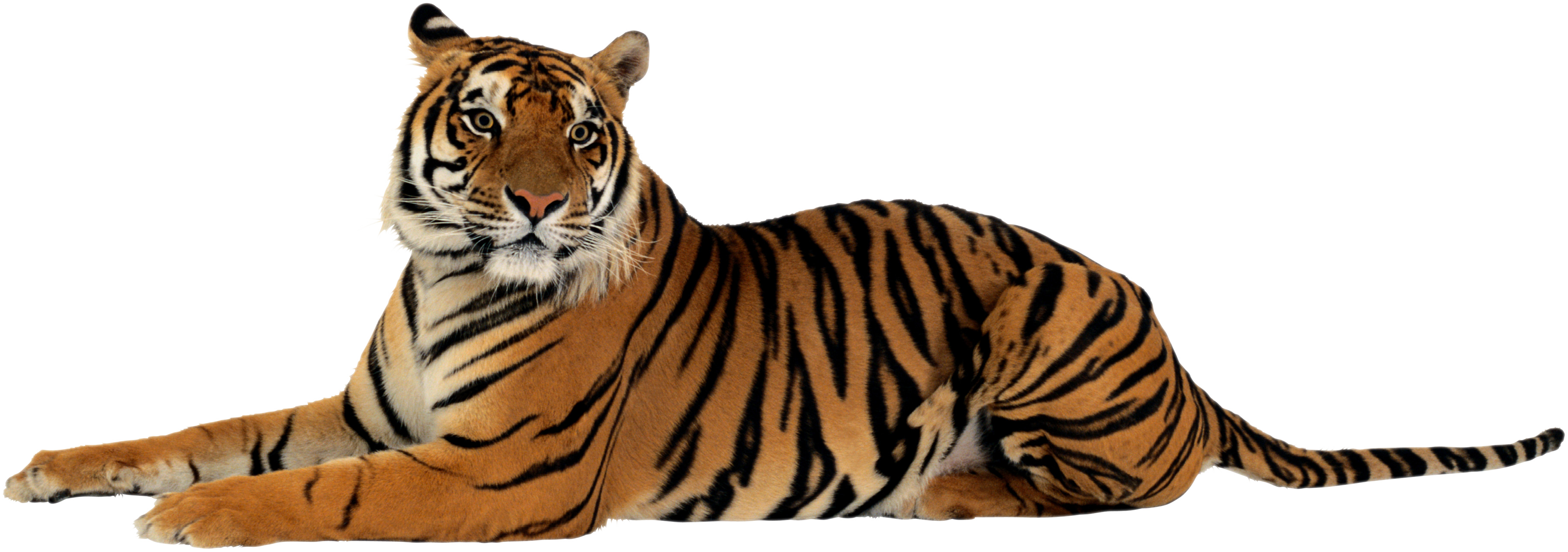 Browse And Download Tiger Png Pictures image #39205