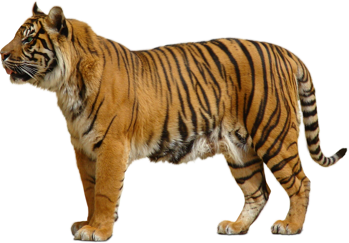 Download For Free Tiger Png In High Resolution image #39173