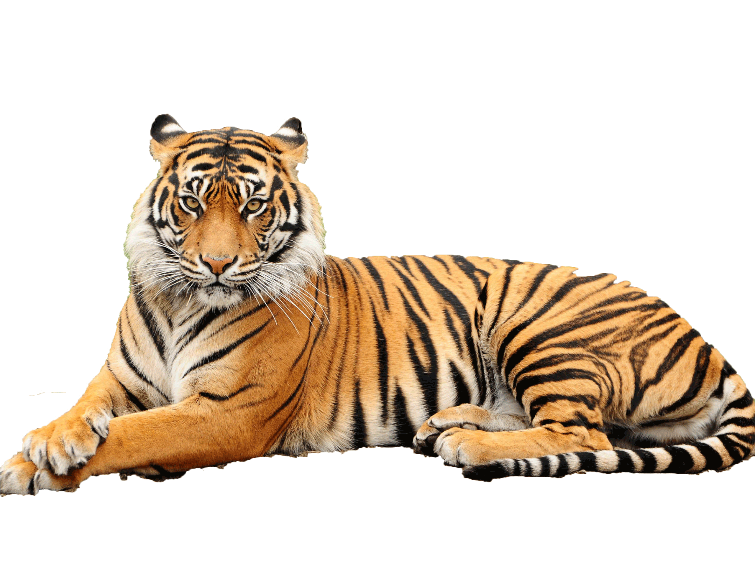 Get Tiger Png Pictures image #39177