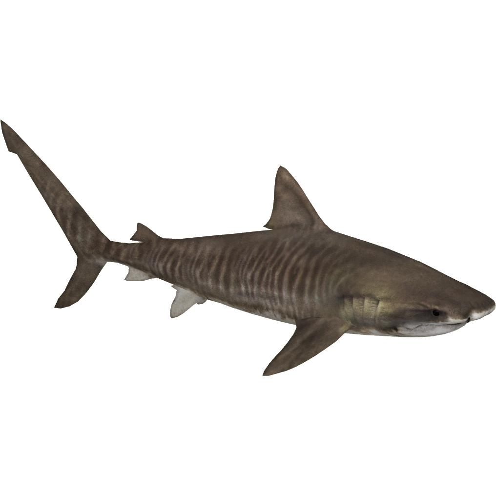 tiger shark png  42740