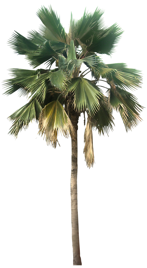 Transparent Palm Tree Great Looking Desert Plants Png Image image #43077