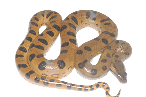 Transparent Patterned black and yellow Anaconda Pictures