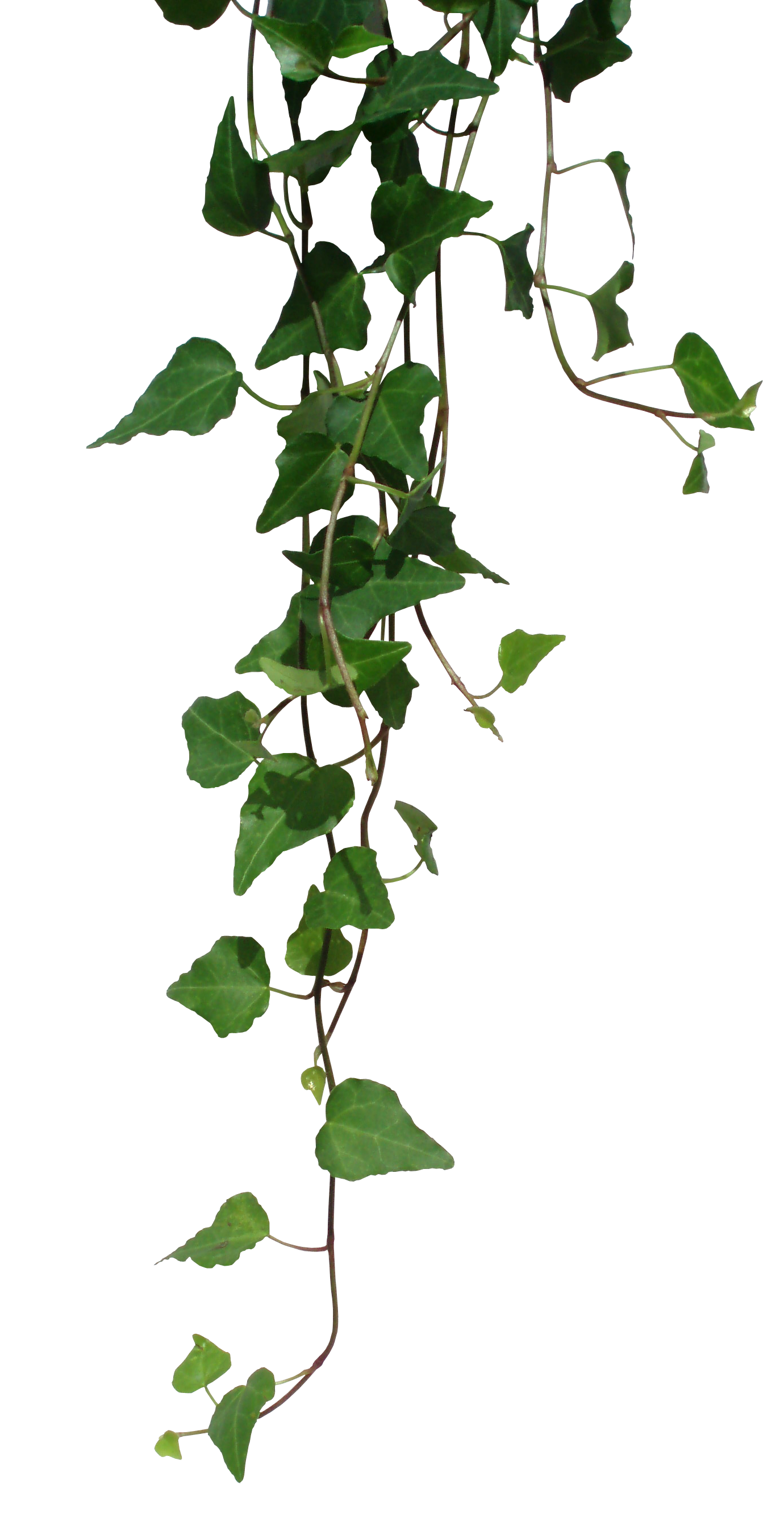 Transparent Vines Png image #43656