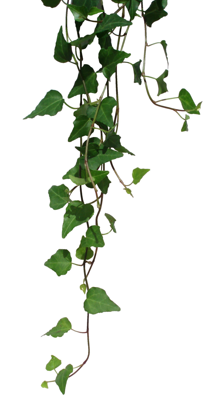 Transparent vines png
