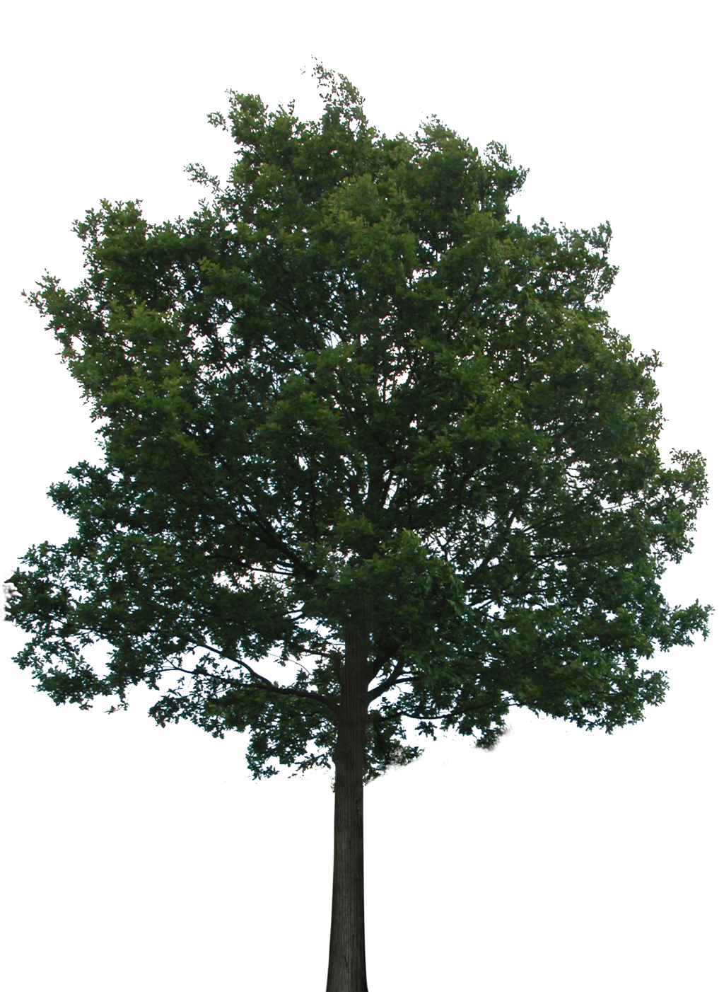 Tree 1 (PNG With Transparency) By Bupaje On DeviantArt image #718
