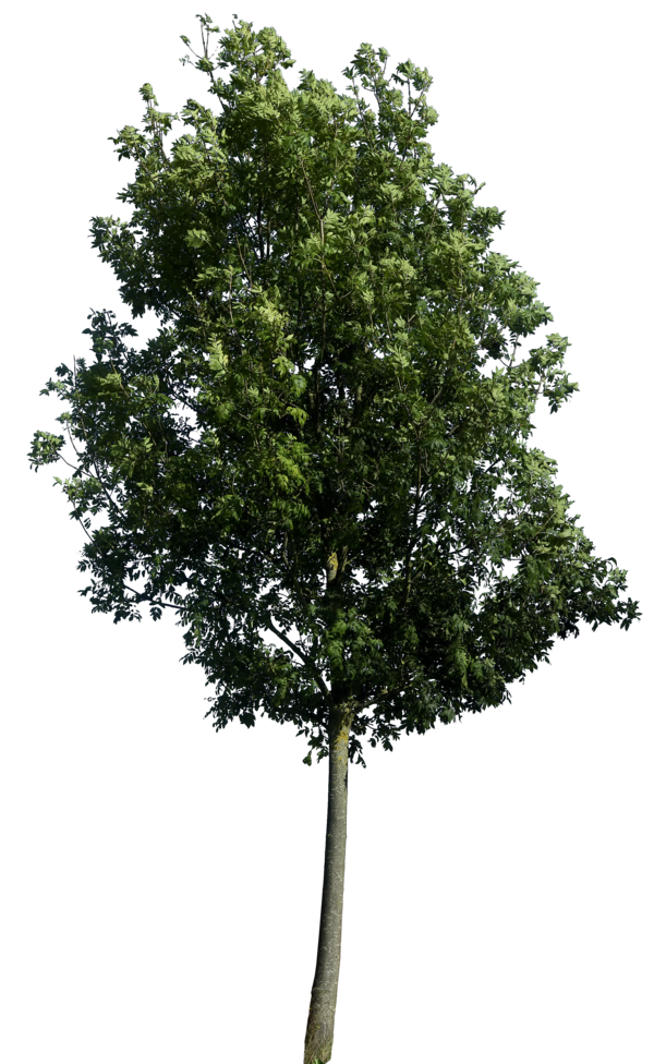 Tree 60 Png HQ In Graphics Details , By Gd08 image #776