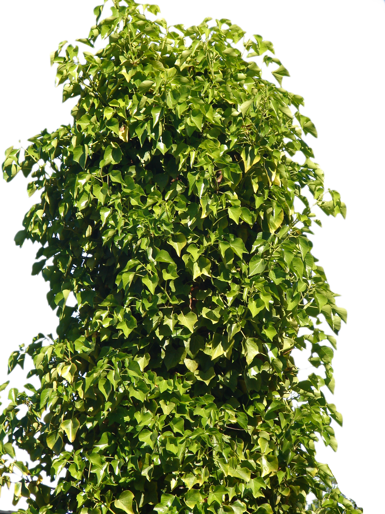 tree bushes png