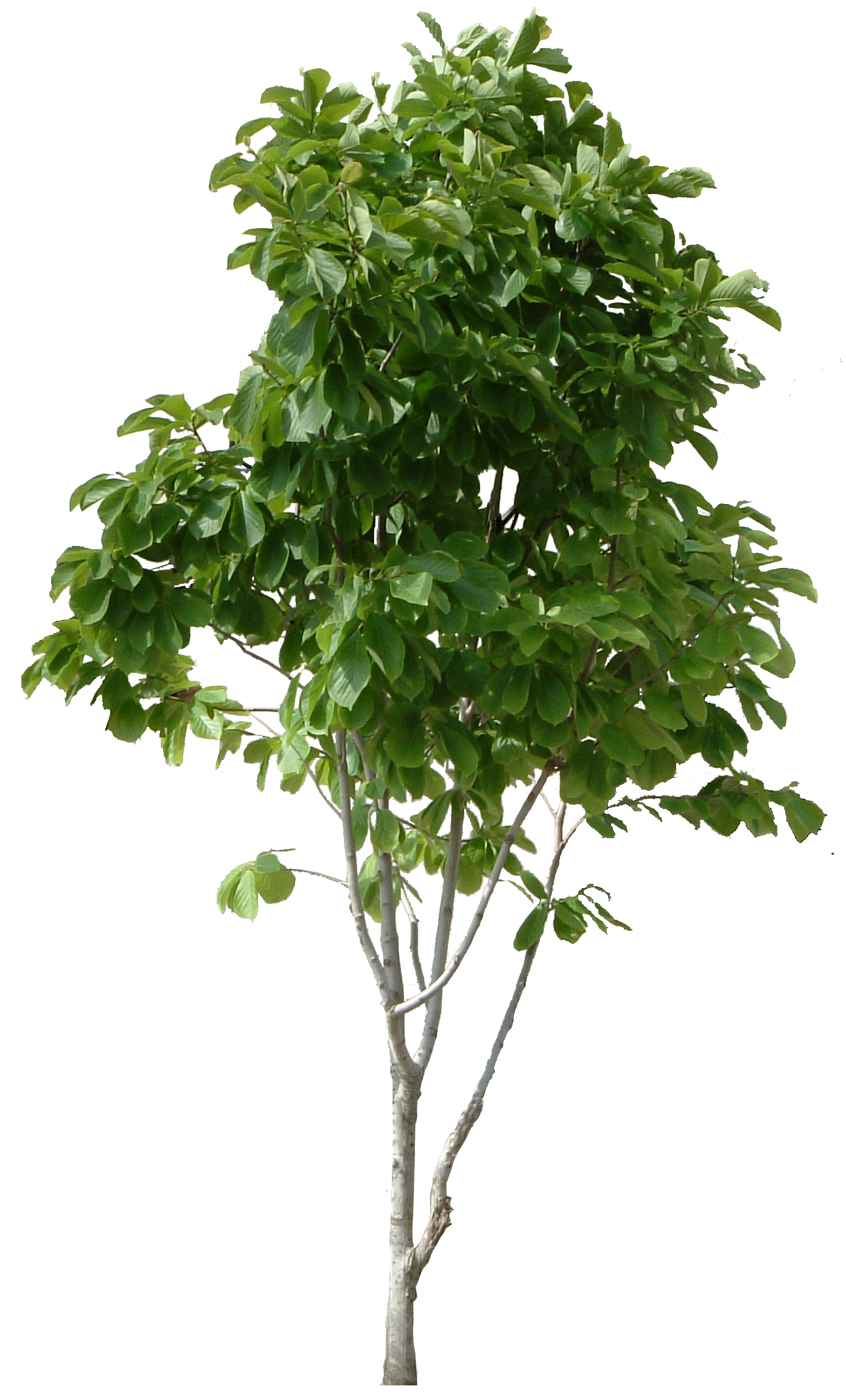 Tree Download png image: tree png