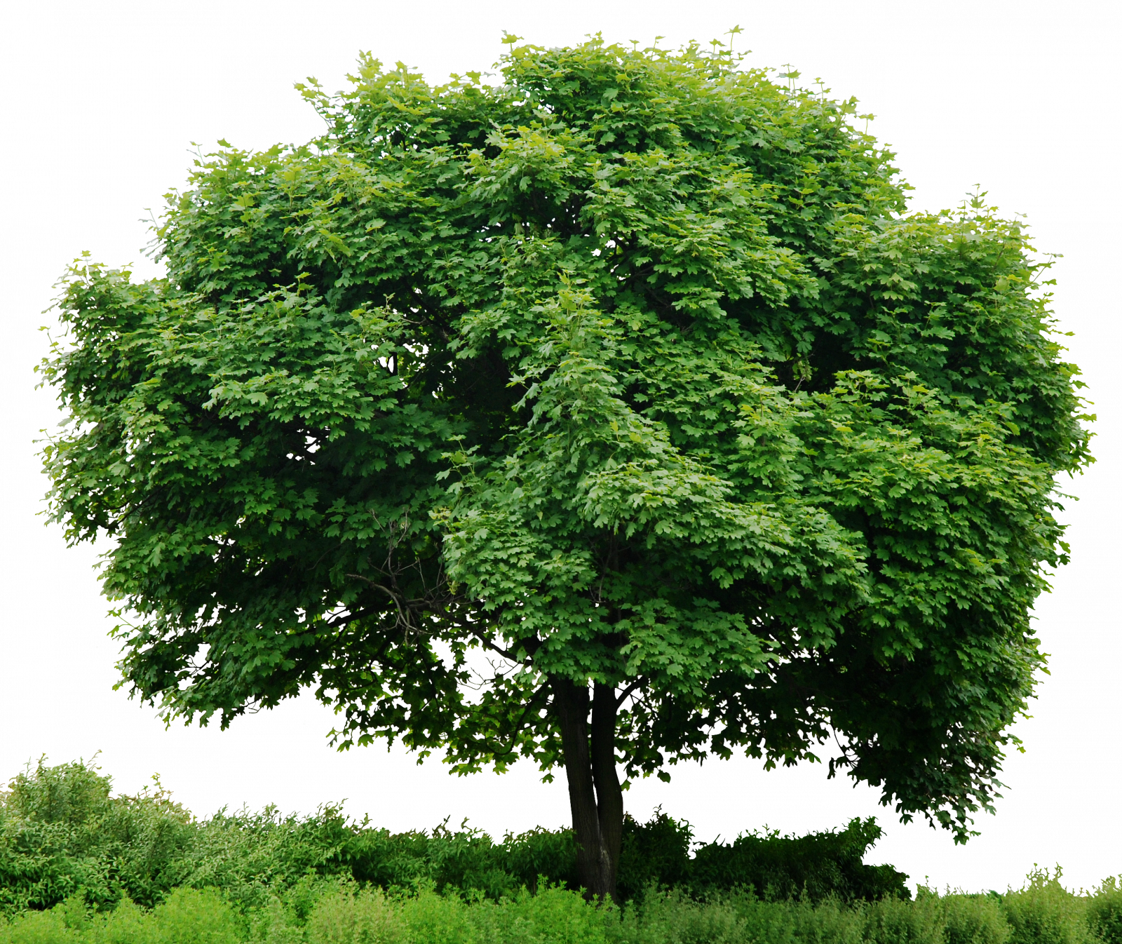 Tree PNG Image Stock Without Background