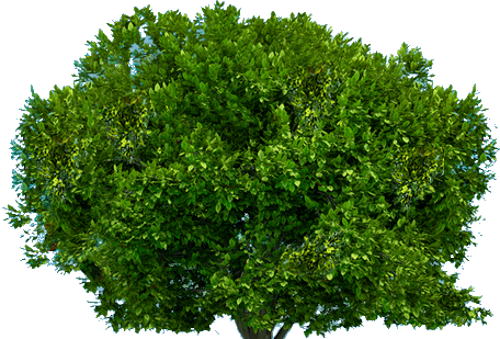 Top Tree Transparent PNG Pictures