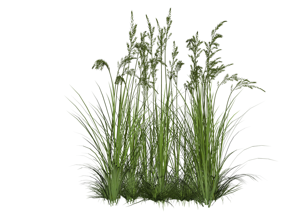 Tropical Plants Tall Grass Png image #44164