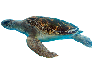 High quality Turtle Cliparts For Free!