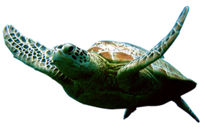 Hd Turtle Image In Our System