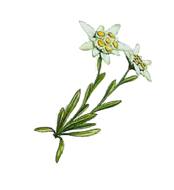 two branched leafy Yesil Edelweiss Photo