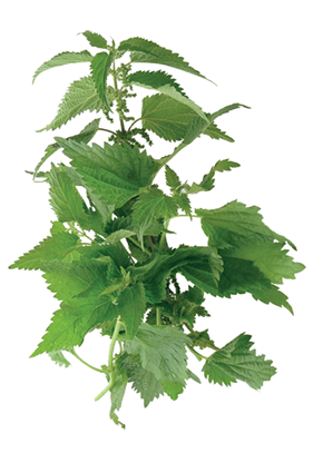 Useful Green Nettle Picture image #48485