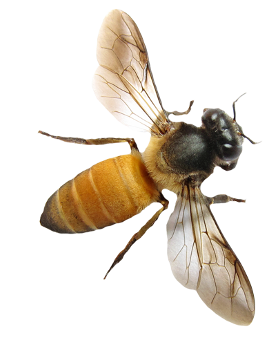 Vector Png Bee