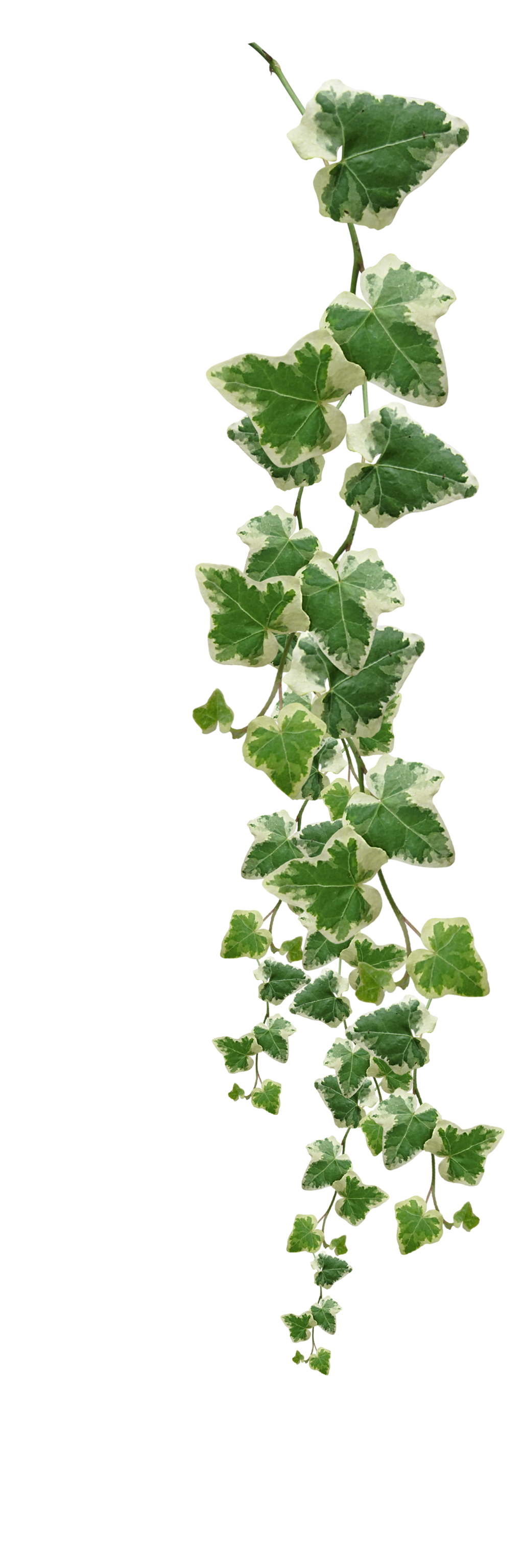 Vines Plants Png Pictures image #44922
