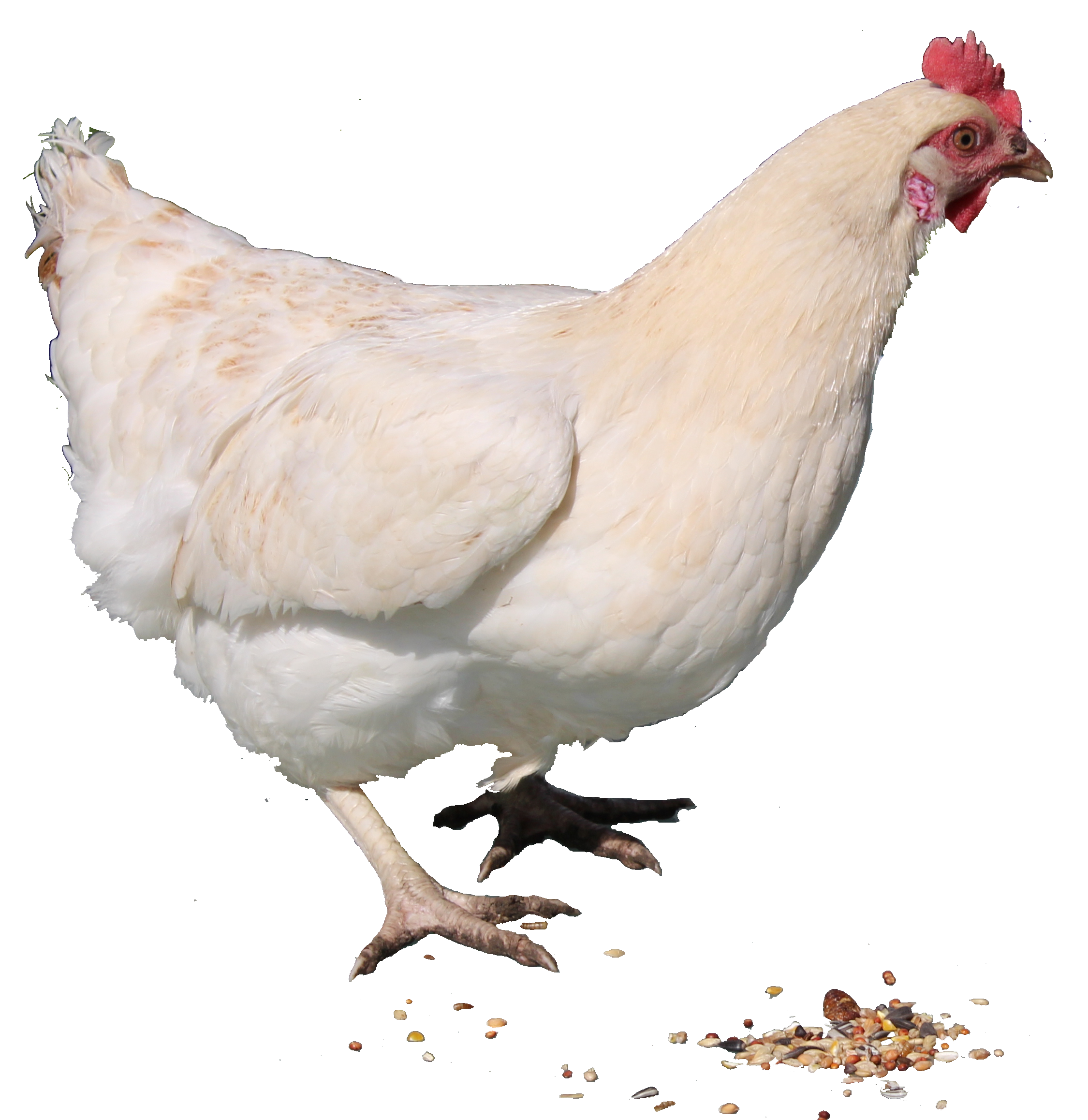White Chicken Png image #40285