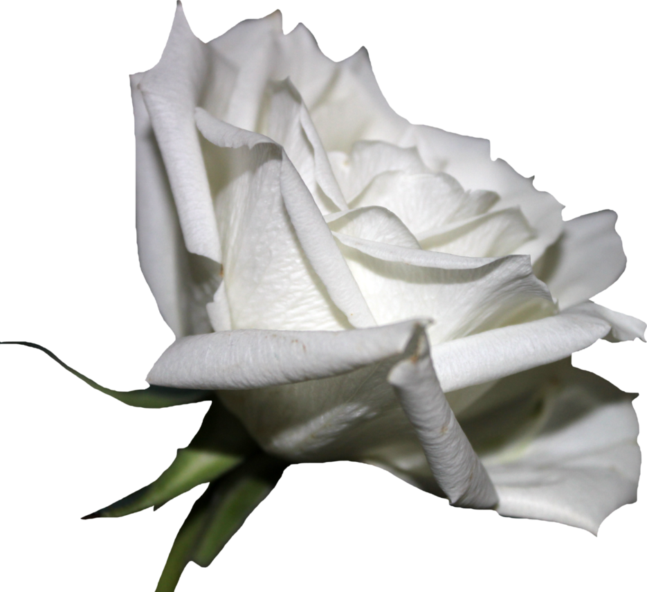 White Rose PNG Pic