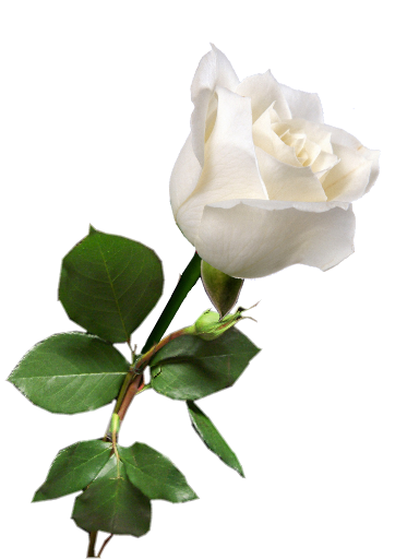 White Rose Transparent Flowering Plant White Petal image #48795