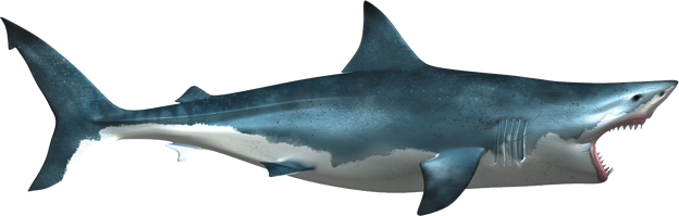 white shark png