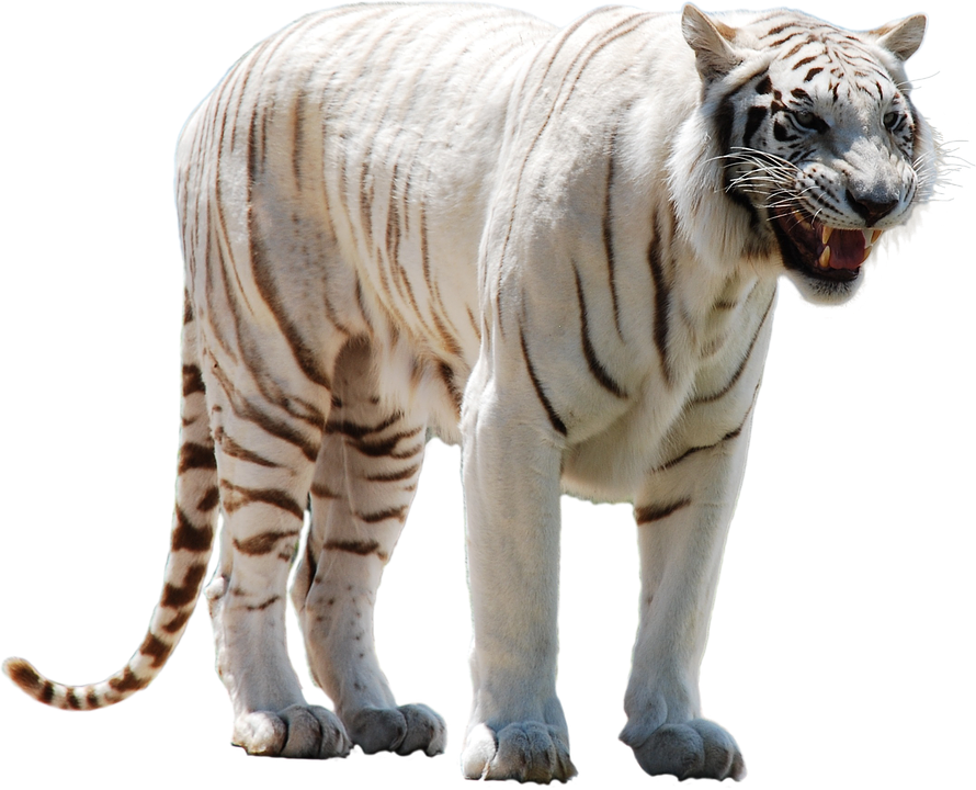 White Tiger Png Picture image #39184