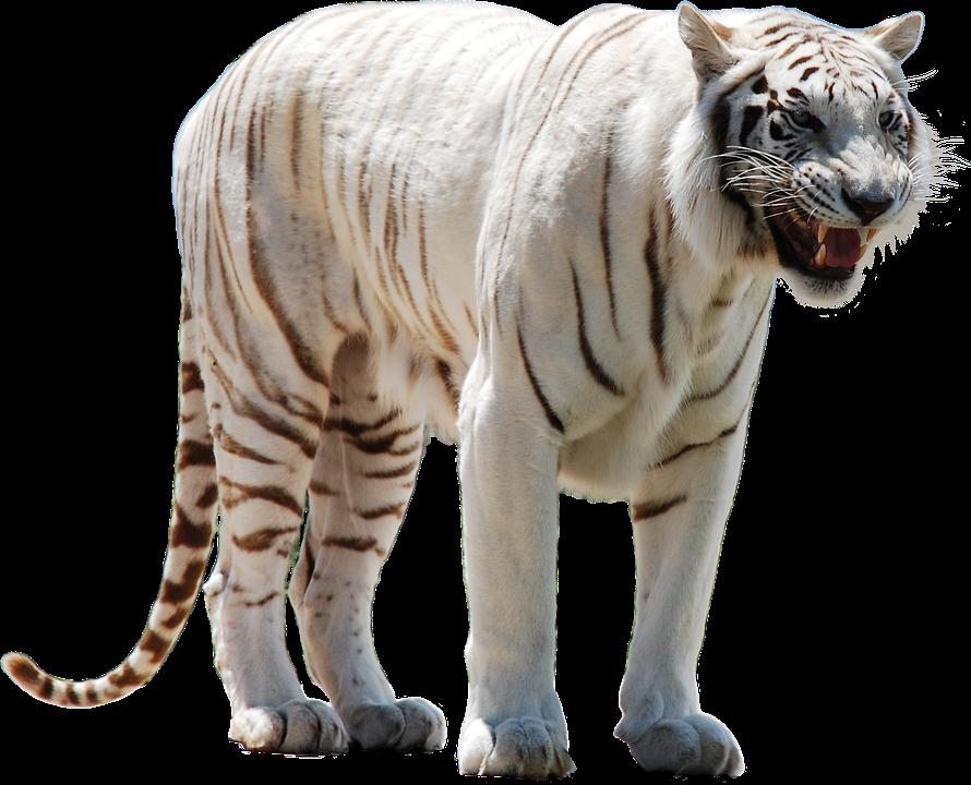 Tiger PNG, Tiger Transparent Background - FreeIconsPNG