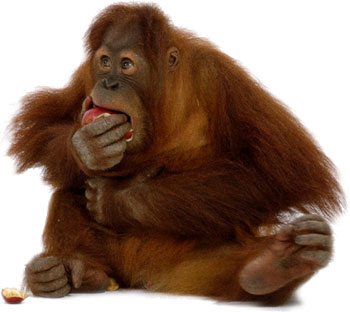 Who Is Hungry Orangutan Pictures image #48088