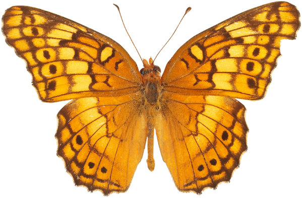 yellow butterfly png