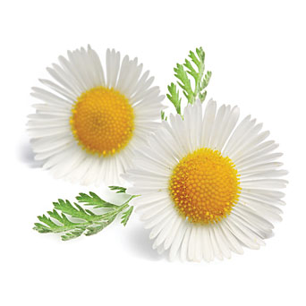 Yellow Flower Oxeye Daisy Plant Chamomile Herbal Tea  image #48754