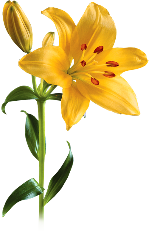 Yellow Lily Flower Transparent Background
