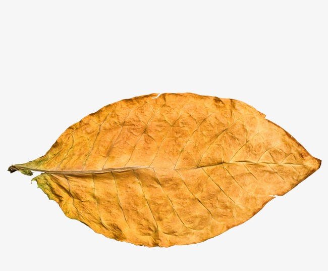 Yellow Tobacco Leaf And Formal And Transparent PNG Image image #48049