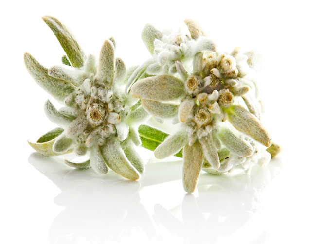 Green Transparent Edelweiss Pictures image #48567